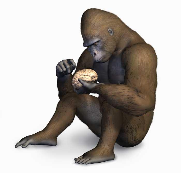 Gorillabrain