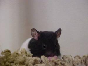 Hamster_domino